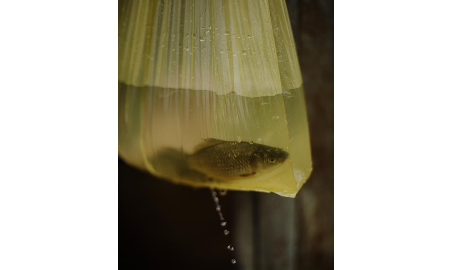 Gorelovka. In the yard of an Adjarian family, a fish in a holed plastic bag.