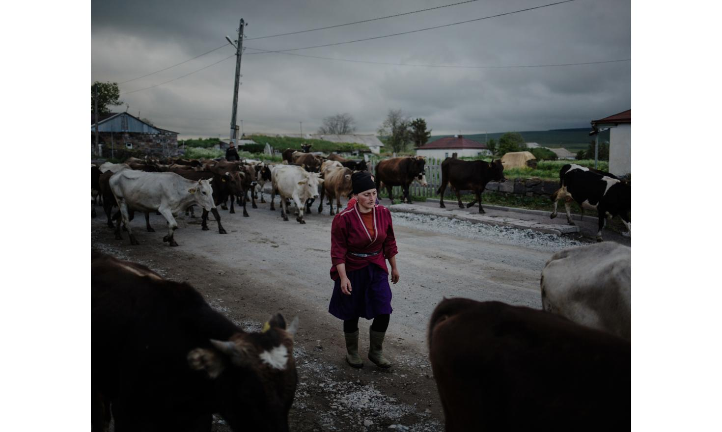 As cows are coming back from the fields, an Adjarian woman comes to pick her animals. Adjarians who arrived in the region are climatical refugees, they fled landslides in Adjara.